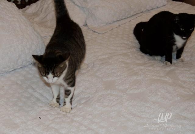 six toed cats, Ernest Hemingway